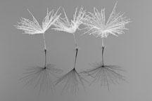 Dandelion Reflection